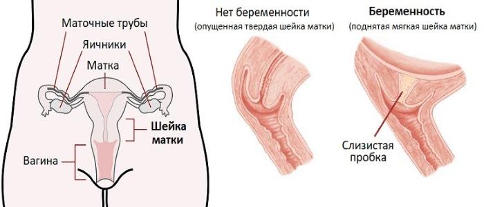 Отошла пробка когда начнутся роды вторая беременность