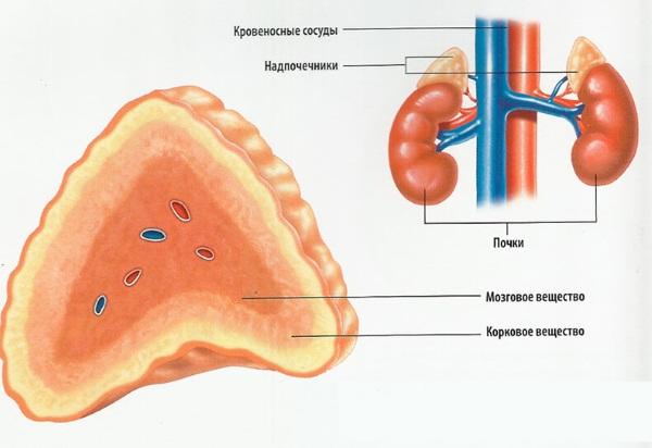 Анатомия человека для детей: строение скелета, внутренние органы, кости у женщин и мужчин