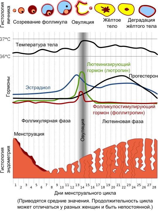 Менструационный цикл. Что это такое, сколько дней норма, почему нарушается, как правильно считать, восстановить
