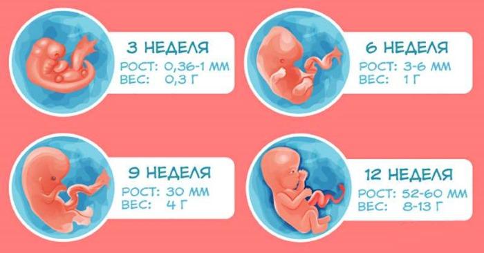 Фото эмбриона по неделям беременности: размеры, этапы развития, описание