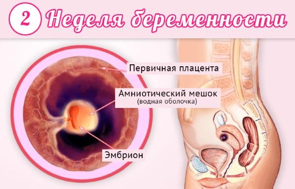 2 недели беременности от зачатия. Признаки и ощущения, что происходит, фото плода