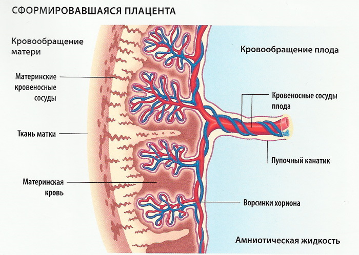 Плацента 0-1-2-3 степени зрелости: что значит, как определить