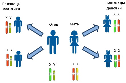 Монохориальная диамниотическая двойня. Что это такое, близнецы или двойняшки, развитие по неделям, как проходят роды